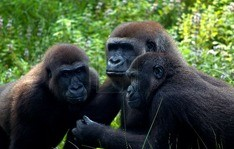 bwindi-forest-gorillas